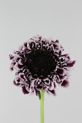 Picture of Scabiosa Atro Cherry Vanilla