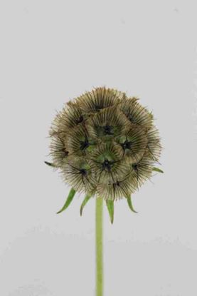 Picture of Scabiosa Stellata