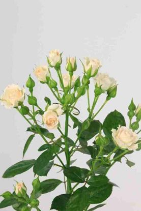 Picture of Spray Roses Cream Gracia