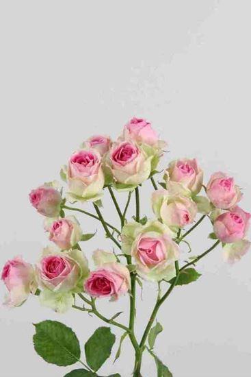 Picture of Spray Roses Mimi Eden
