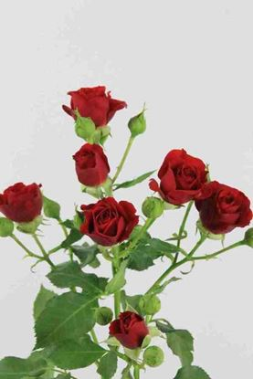 Picture of Spray Roses Mirabell