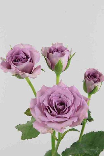 Picture of Spray Roses Ocean Mikado