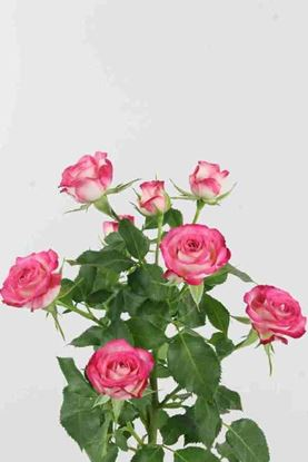 Picture of Spray Roses Safina
