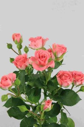 Picture of Spray Roses Sylvana