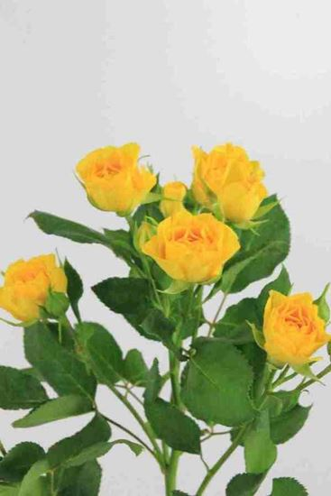 Picture of Spray Roses Yellow Babe