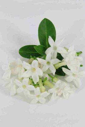 Picture of Stephanotis