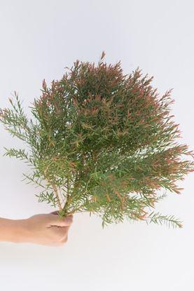 Picture of Tea Tree
