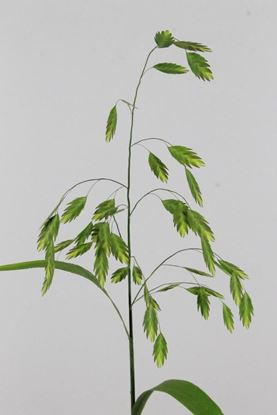Picture of Wood Oats