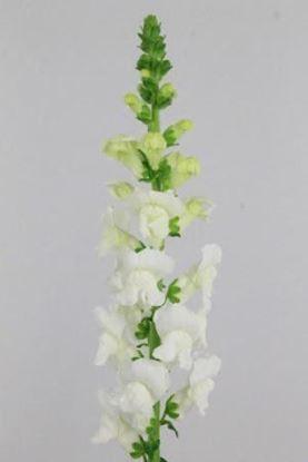 Picture of Antirrhinum White