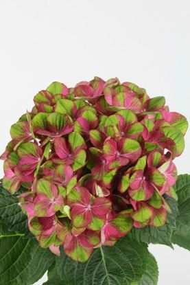 Picture of Hydrangea Greenfire