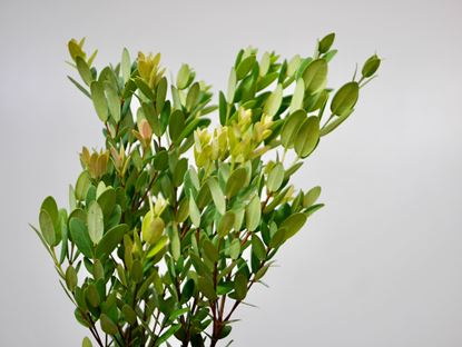 Picture of Eugenia Leaves