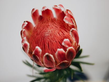 Picture of Protea Venus