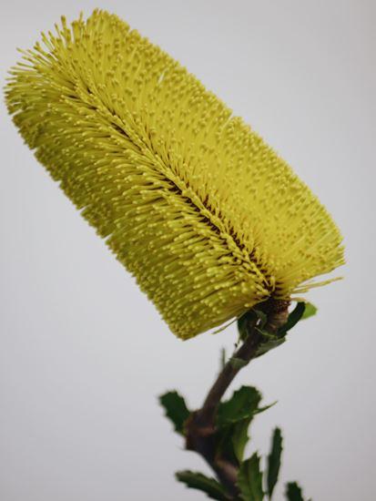 Picture of Banksia Praemorsa