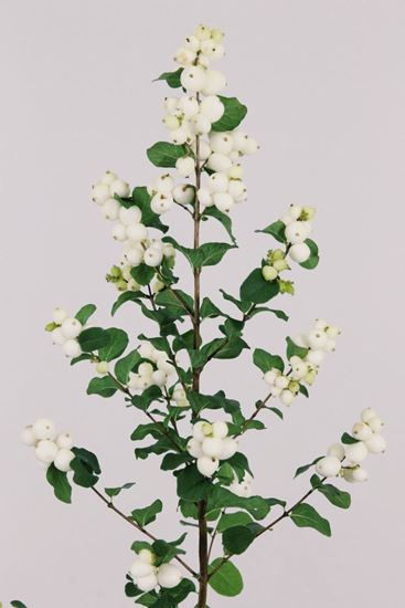 Picture of Symphoricarpos, Magical Lemon & Lime