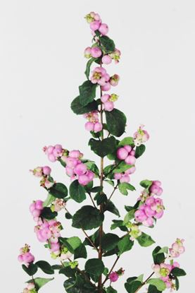 Picture of Symphoricarpos, Magical Treasure