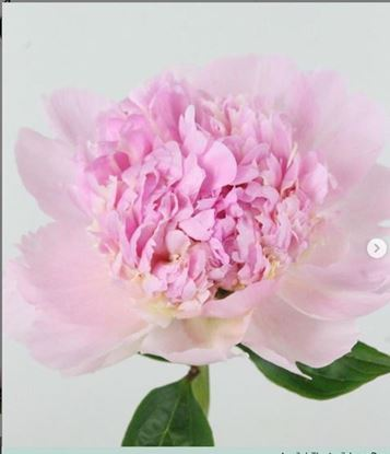 Picture of Peony Angel Cheeks